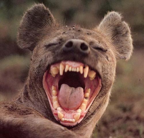 hyene.jpg